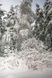 Спокойное утро overcast в ветвях снежного леса тонких молодых деревьев согнуто под обильным заволакиванием снега стоковое изображение rf