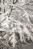 Спокойное утро overcast в ветвях снежного леса тонких молодых деревьев согнуто под обильным заволакиванием снега стоковое фото