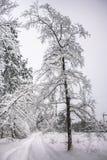 Спокойное утро overcast в ветвях снежного леса тонких молодых деревьев согнуто под обильным заволакиванием снега стоковые фотографии rf