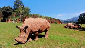 Спокойные носороги в луге сток-видео