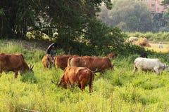 Спокойный азиатский ландшафт деревни с коровами и быками зебу Красивый индийский зебу лежит мирно в тропическом лесе стоковое изображение rf