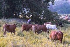 Спокойный азиатский ландшафт деревни с коровами и быками зебу Красивый индийский зебу лежит мирно в тропическом лесе стоковые изображения