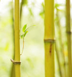 Спокойный взгляд bambo Стоковое фото RF