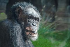 Спокойный старый шимпанзе смотря камеру стоковое изображение rf