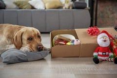 Спокойный labrador размещая около подарков Стоковые Изображения