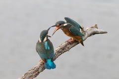 Спорить Kingfishers Стоковые Фото