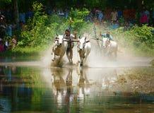 Спорт деятельности, въетнамский фермер, гонка коровы Стоковое Фото