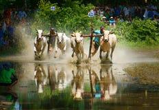 Спорт деятельности, въетнамский фермер, гонка коровы Стоковые Изображения RF