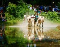 Спорт деятельности, въетнамский фермер, гонка коровы стоковая фотография