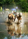 Спорт деятельности, въетнамский фермер, гонка коровы Стоковые Изображения