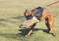 спорт собаки Стоковое Изображение RF