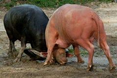 Спорт уникально буйвола воюя в южной Таиланда Стоковое Изображение