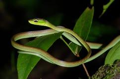 Справляется змейка лозы ` s стоковое изображение