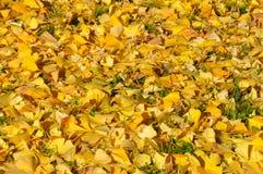 Справочная информация Листья желтого цвета biloba гинкго стоковая фотография rf