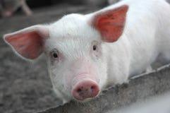спрашивать свинье стоковая фотография rf