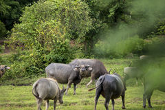 Спрашивая буйвол стоковое изображение