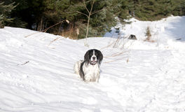 Спрингер снежка 3 Стоковые Фотографии RF