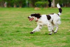 Спрингер собаки идущий Стоковые Фото
