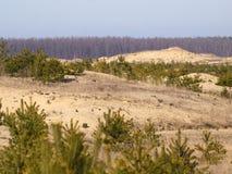 Спрусы зеленого цвета и мертвая трава на холмах песка Стоковое фото RF