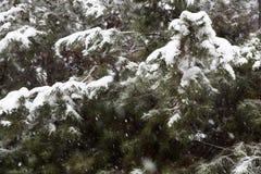 Спрусы Snowy Стоковое фото RF