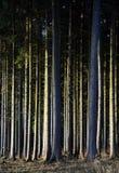 Спрус - вертикальный лес - древесины Стоковая Фотография RF