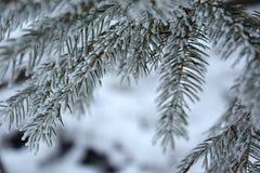 Спрус ветвей Snowy, конец вверх стоковое фото