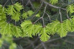 Спрус ветви естественной предпосылки, ель Стоковое фото RF