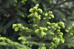 Спрус ветви естественной предпосылки, ель Стоковые Фото