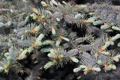 Спрус ветви естественной предпосылки, ель Стоковая Фотография
