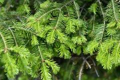 Спрус ветви естественной предпосылки, ель Стоковые Фотографии RF