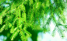 спрус ветви зеленый стоковая фотография