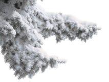 спрус ветви Стоковые Фото