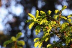 спрус ветви Стоковое Фото