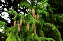 спрус ветви Стоковая Фотография RF