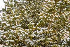 Спрус в снежке Первый снег в октябре Covere сосен стоковая фотография rf
