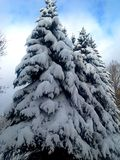 Спрус в снежке стоковое изображение