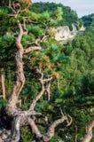 Спрус горы на переднем плане Стоковое фото RF