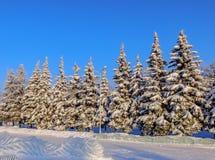 Спрус зимы Стоковые Изображения RF