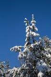 Спрус покрытый с снежком Стоковые Изображения RF