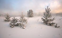 Спрус предусматриванный заморозком Стоковое Изображение RF
