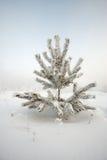 Спрус предусматриванный заморозком Стоковое Фото