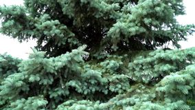 Спрус сини, спрус зеленого цвета или спрус сини, с научными pungens Rsea имени Красивый спрус сини против неба акции видеоматериалы