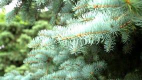 Спрус сини, спрус зеленого цвета или спрус сини, с научными pungens Rsea имени Красивый спрус сини против неба видеоматериал