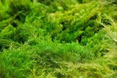 спрус сосенки ветви предпосылки естественный стоковое фото