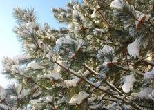 Спрус с конусами и снегом Стоковое Фото