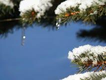 спрус icicle ветви Стоковое Изображение RF