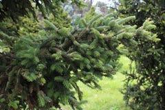 Спрус - orientalis Picea Стоковые Изображения RF