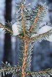 Спрус Snowy, конец вверх стоковое изображение rf