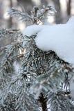 Спрус Snowy, конец вверх стоковые фото