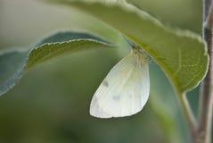 спрятанная бабочка стоковые фотографии rf